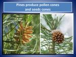 pines produce pollen cones and seeds cones