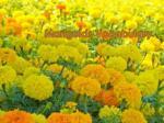 marigolds vocabulary