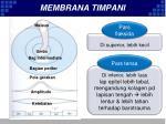 membrana timpani