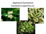japanese euonymus euonymus japonica cv