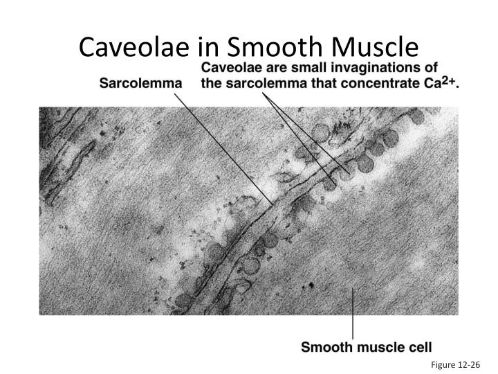 Caveolae in Smooth Muscle