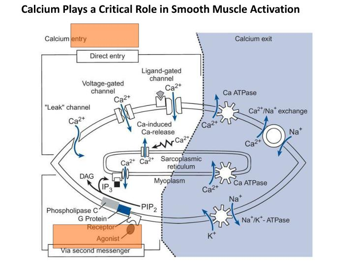 Calcium Plays a Critical Role in Smooth Muscle Activation