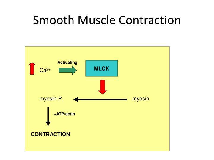 Smooth Muscle Contraction