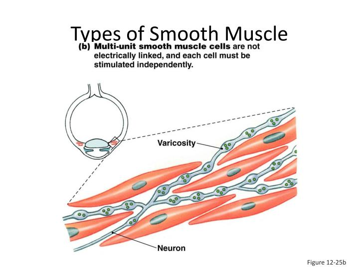 Types of Smooth Muscle
