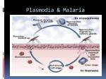 plasmodia malaria