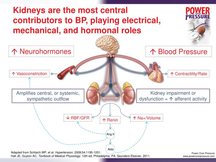Kidneys are the most central contributors to BP, playing electrical, mechanical, and hormonal roles