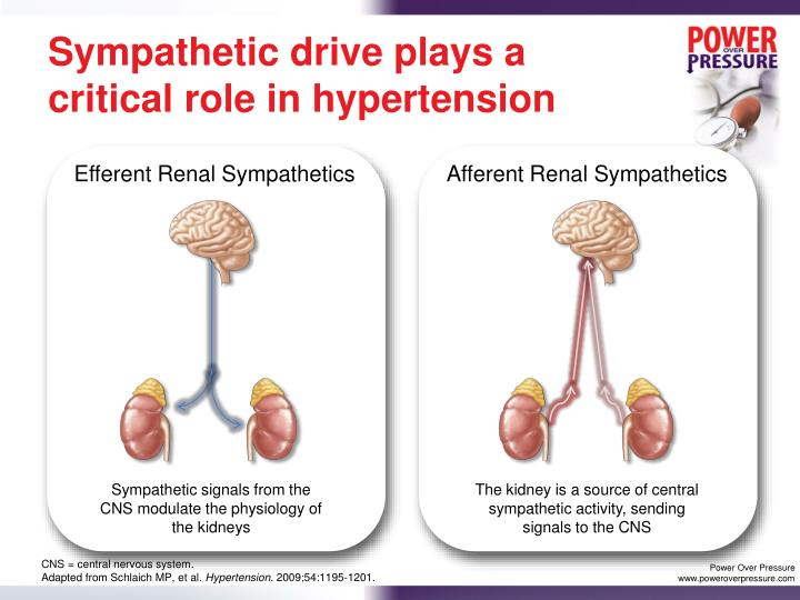 Sympathetic drive plays a critical role in hypertension