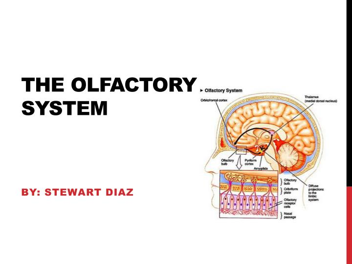 the olfactory system n.
