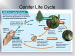 conifer life cycle1