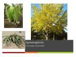 gymnosperms1