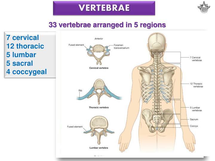 Ppt Vertebral Column Ribs Sternum Powerpoint Presentation Id