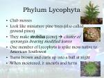 phylum lycophyta
