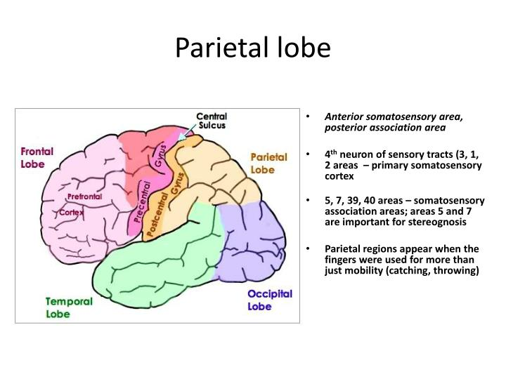 PPT - Parietal lobe PowerPoint Presentation - ID:2194308