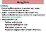 amygdala1