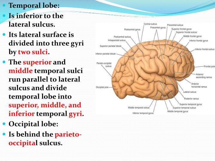 Temporal lobe: