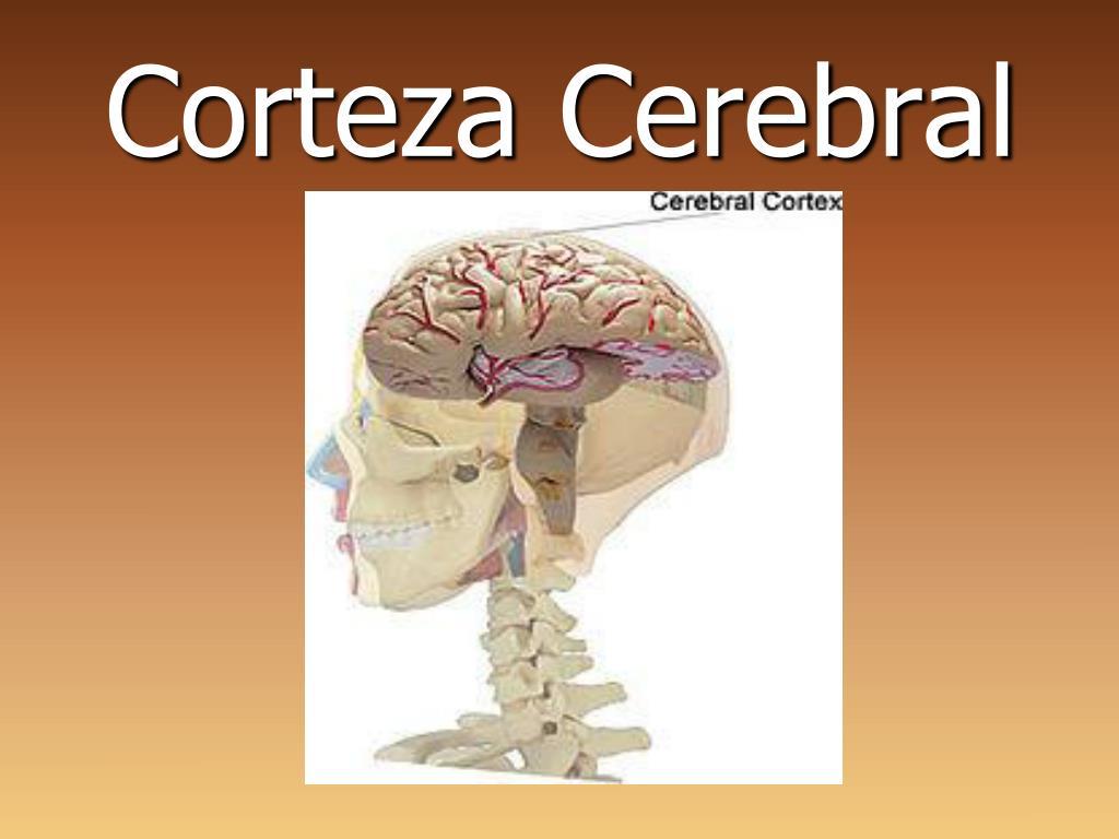 PPT - Corteza Cerebral PowerPoint Presentation - ID:2194445