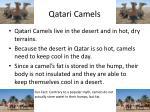 qatari camels
