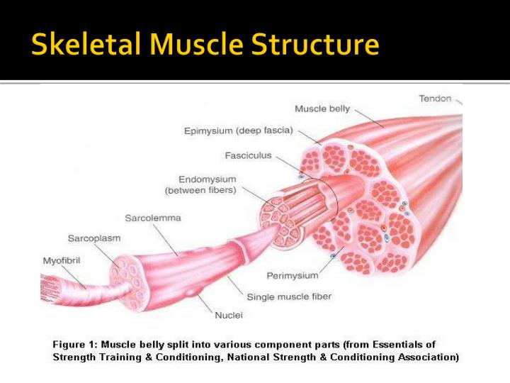 ppt - muscle structure and function powerpoint presentation