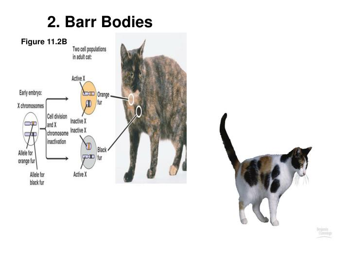 2. Barr Bodies