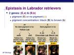 epistasis in labrador retrievers