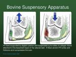 bovine suspensory apparatus