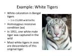 example white tigers