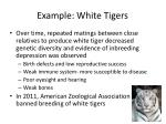example white tigers1