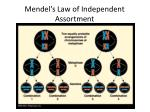 mendel s law of independent assortment2