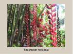firecracker heliconia