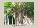 sugar palm with fruit