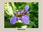 walking iris