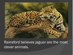 rainsford believes jaguar are the most clever animals
