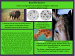 brucella abortus cattle causing bovine brucellosis contagious abortion sometimes affects horses