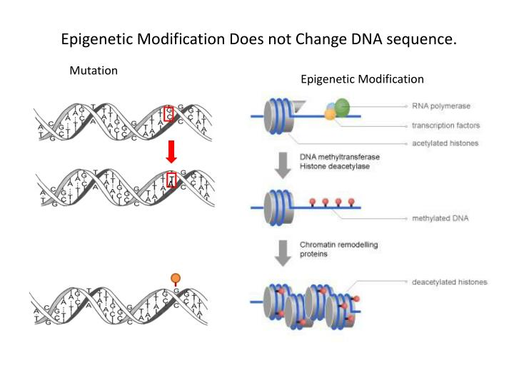 Epigenetic Modification Does not Change DNA sequence.