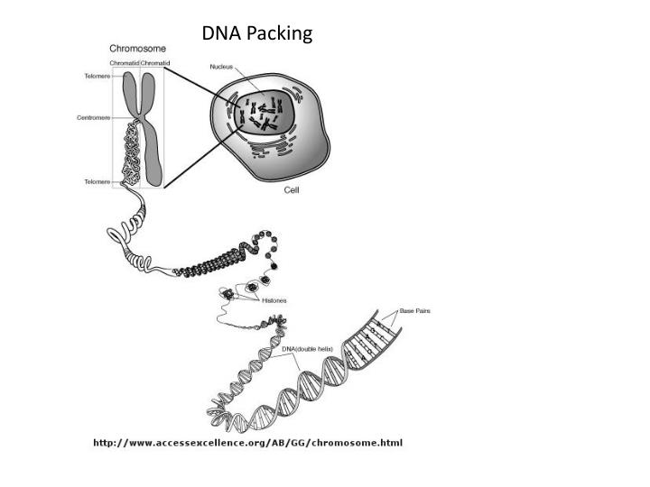 DNA Packing