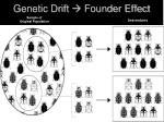 genetic drift founder effect