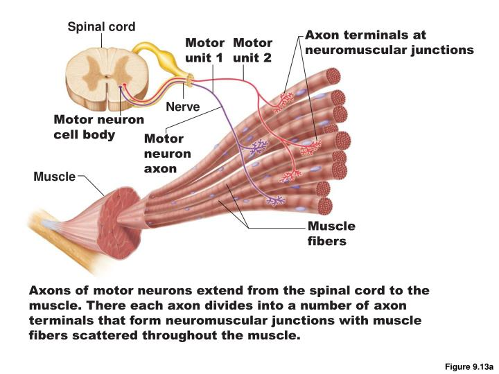 Spinal cord