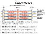 sarcomeres