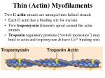thin actin myofilaments