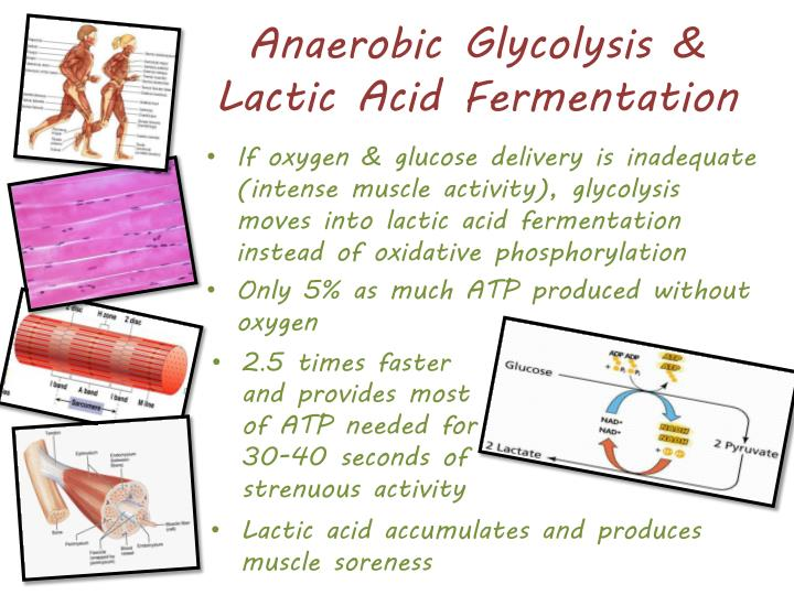 Anaerobic Glycolysis & Lactic Acid Fermentation