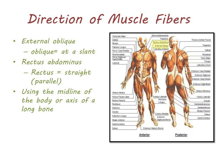 Direction of Muscle Fibers