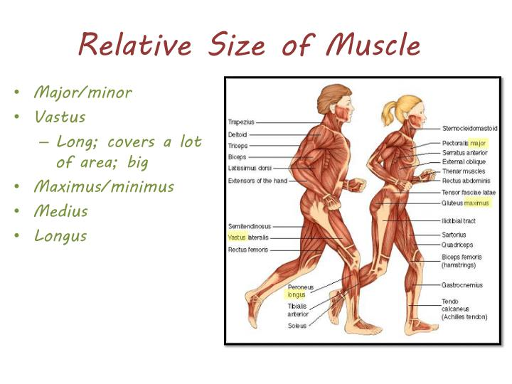 Relative Size of Muscle