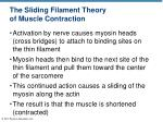 the sliding filament theory of muscle contraction