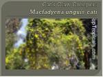 cat s claw creeper macfadyena unguis cati