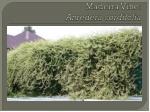 madeira vine anredera cordifolia