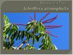 umbrella tree schefflera actinophylla