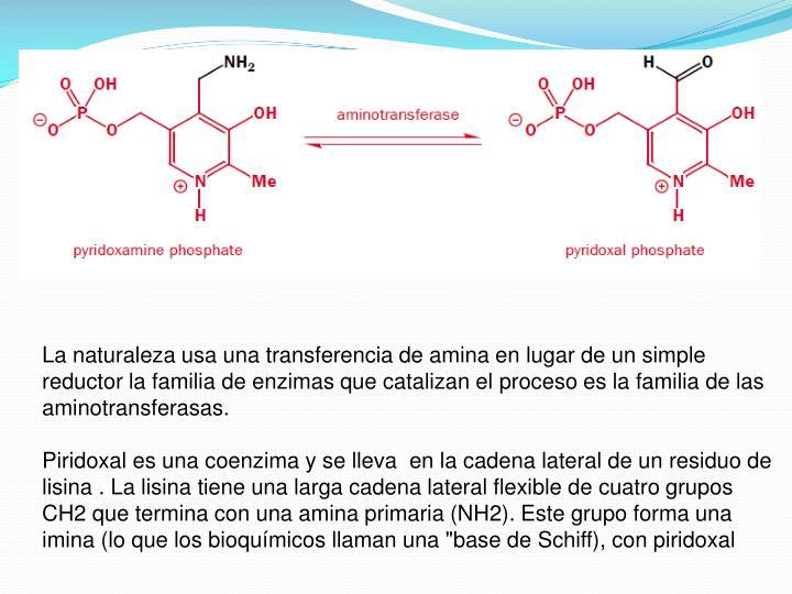 La naturaleza usa una transferencia de amina en lugar de un simple reductor la familia de enzimas que catalizan el proceso es la familia de las