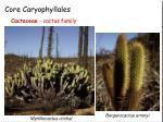 core caryophyllales7