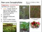 non core caryophyllales