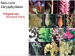 non core caryophyllales3